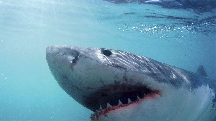 Niemals wurde ein Weißer Hai beim Schlafen gefilmt - bis jetzt!