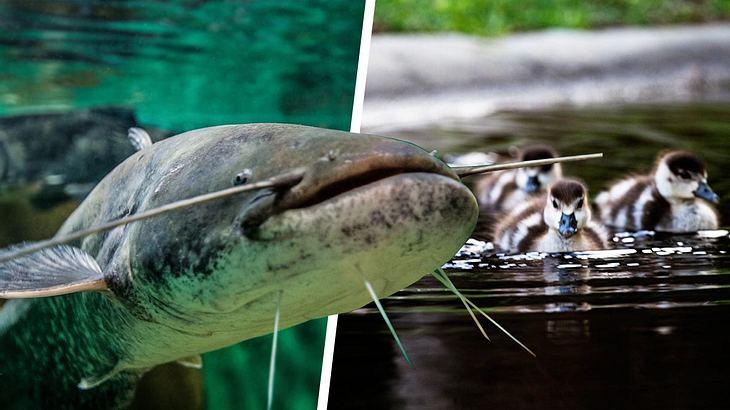 Lieblings Killer-Fisch: Mega-Wels frisst kompletten Teich in Offenbach leer #AF_64