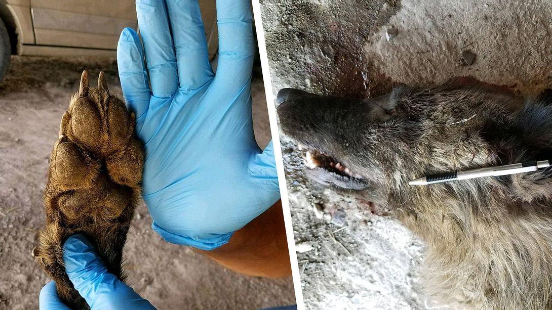 Toter Werwolf: DNA-Ergebnisse liegen vor