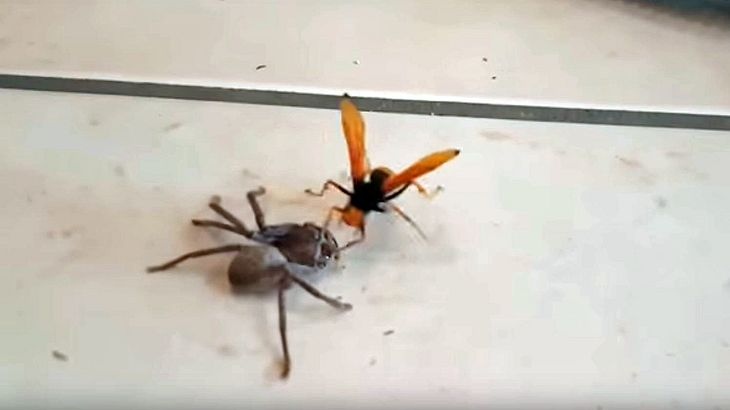 Eine Wegwespe attackiert eine Riesenkrabbenspinne