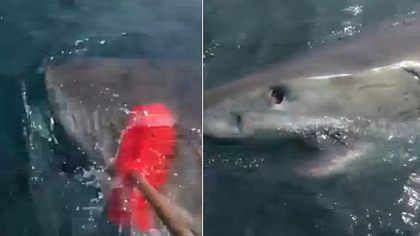 Fischer schlägt Weißen Hai mit Besen in die Flucht