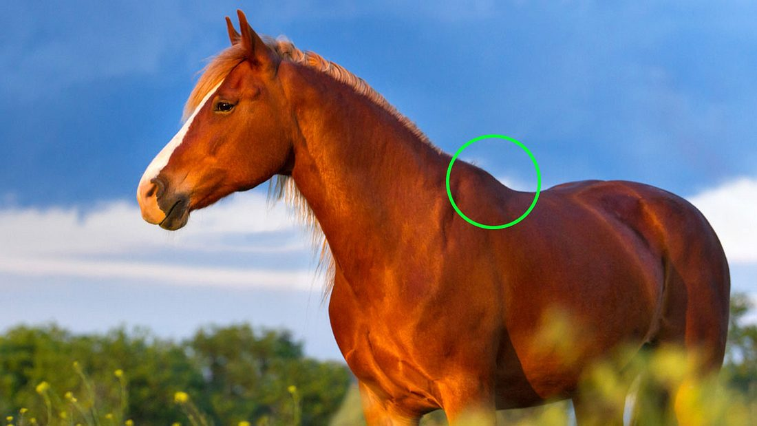 An dieser Stelle wird das Stockmaß der Pferde gemessen