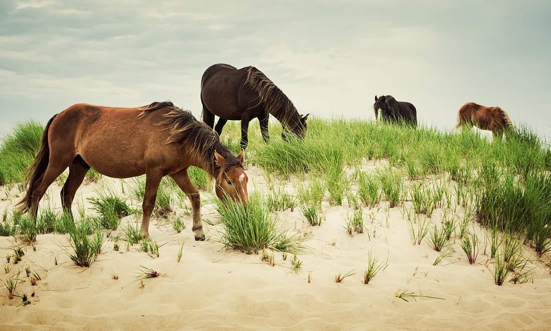 Wilde Pferde auf Sable Island