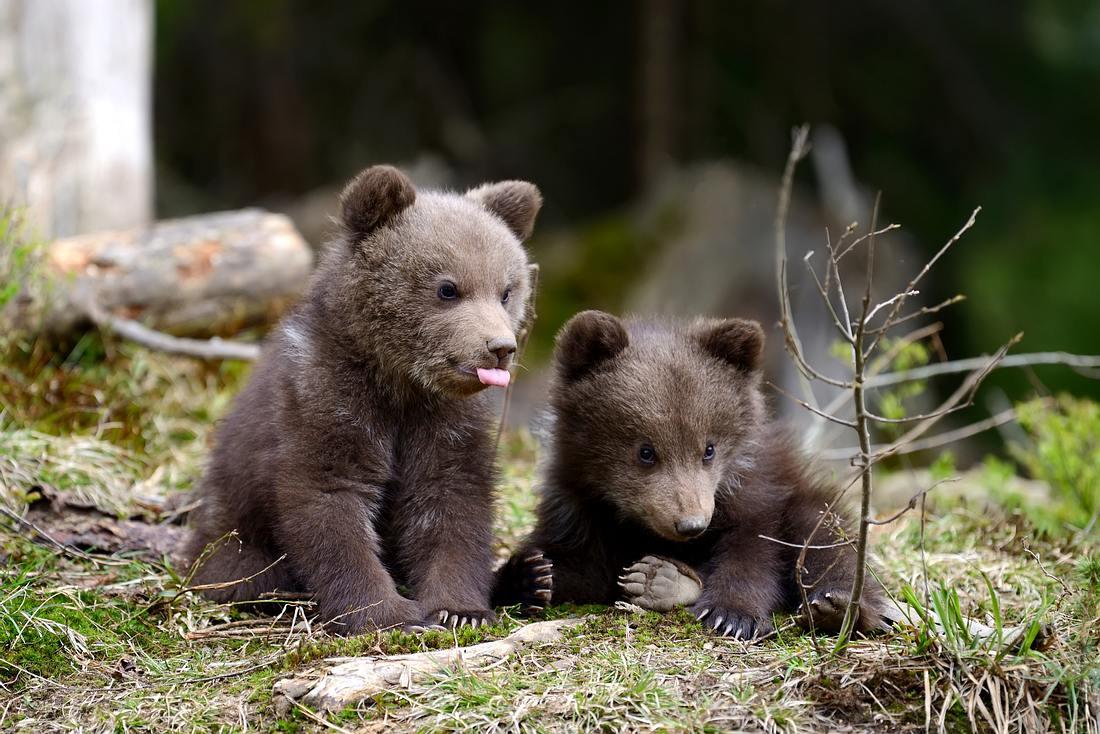 Zwei Bärenjunge