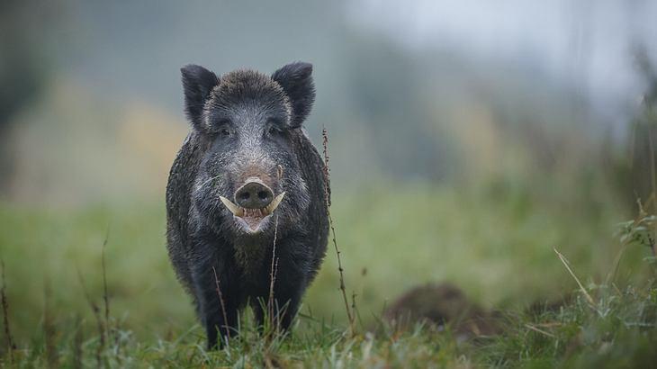 Die Zähne eines Wildschweins können tödlich sein
