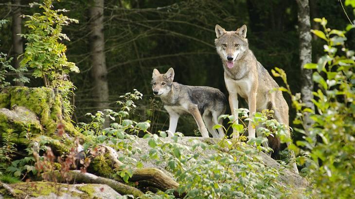 Sachsen-Anhalt: Wölfe zum Abschuss freigegeben