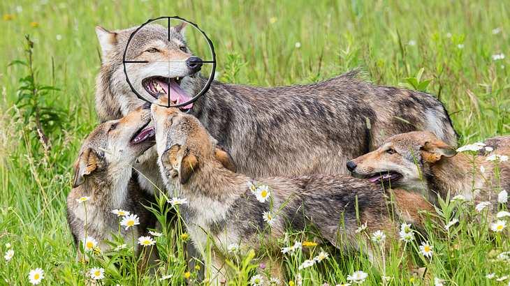 Eine glückliche Wolfsfamilie