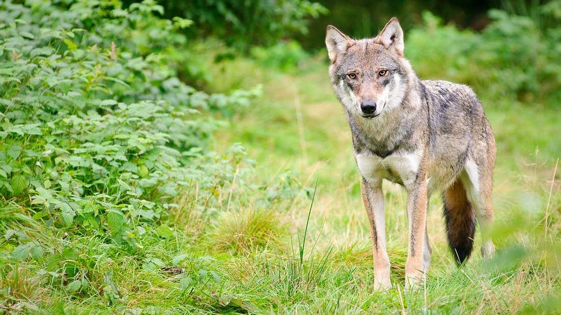 Wölfin bei Gesellschaftsjagd erschossen
