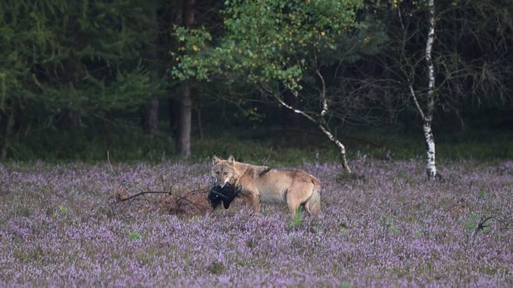 Bei Unterlüß im Landkreis Celle wurde ein Wolf gesichtet