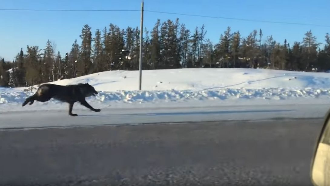 Wolf vs. Auto: Frau filmt Highspeed-Isegrim