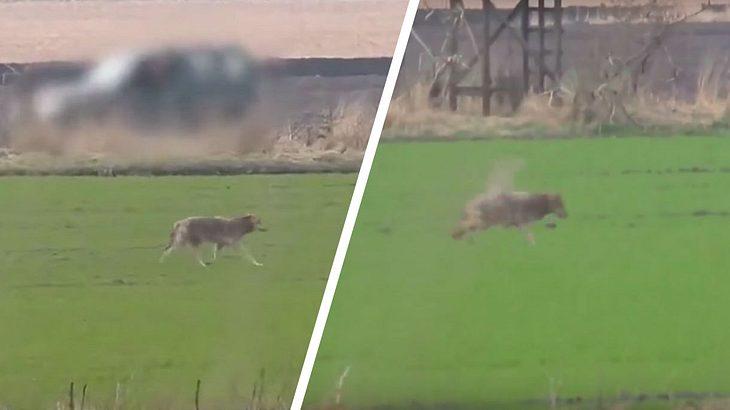 Wolf in Dänemark erschossen