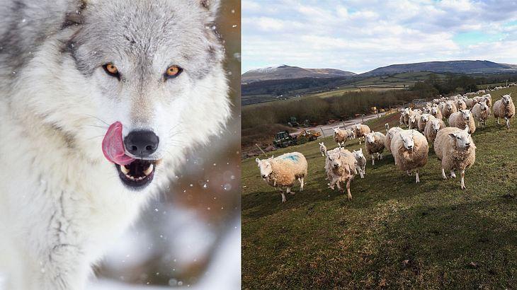 Wolf/Schafe