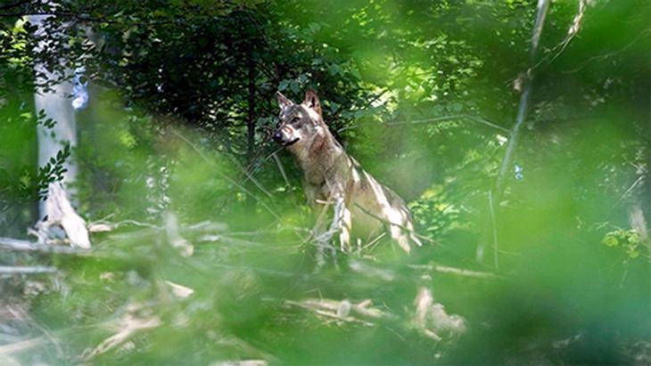 Seltene Sichtung: Das hier ist der erste Wolf, der seit 150 Jahren im Odenwald aufgetaucht ist
