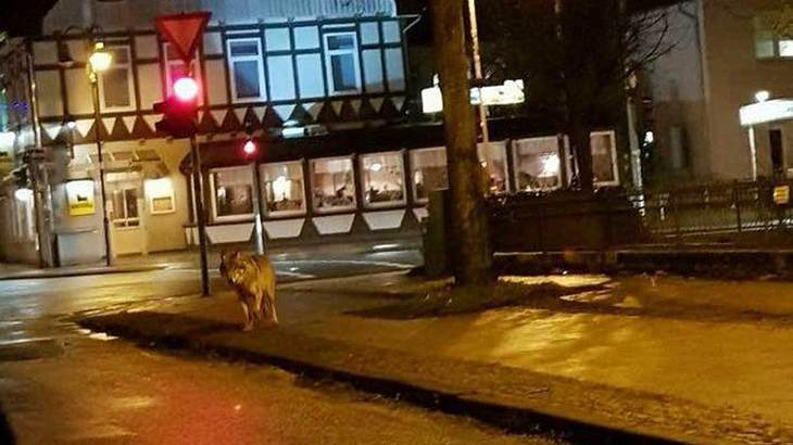 Wolf in Walsrode