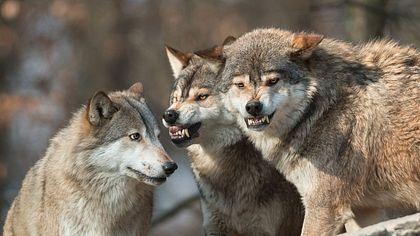 Touristin in Griechenland von Wölfen getötet?