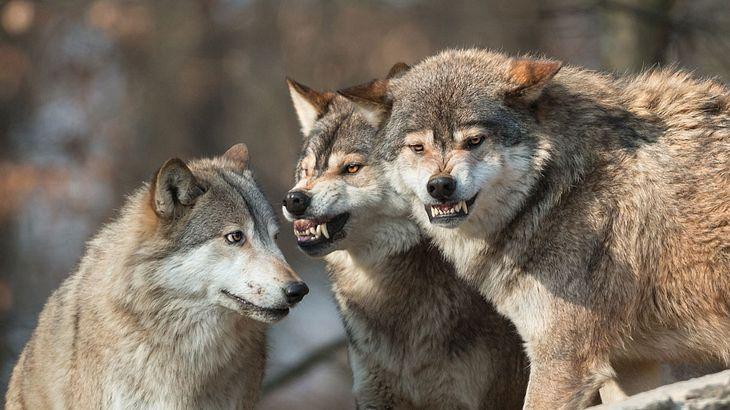 Haben Wölfe eine Wanderin im Norden Griechenlands getötet?