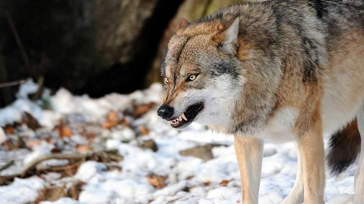 Wolf beißt Hündin die Pfote ab