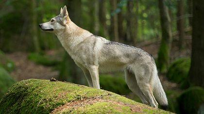 Politik gibt Wölfe zum Abschuss frei - Naturschützer entsetzt
