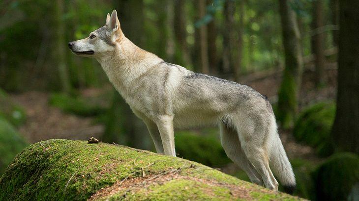Zweiter Wolf erschossen