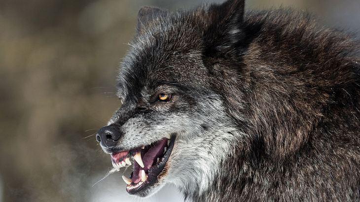 Wolf im Angriffsmodus