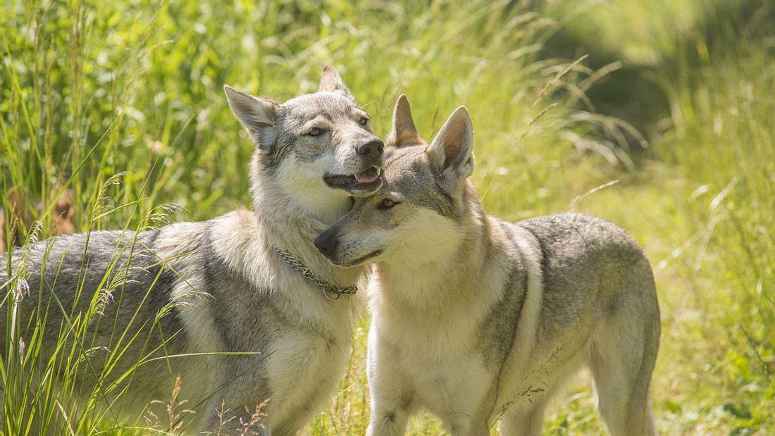 Union will gegen Wölfe vorgehen.