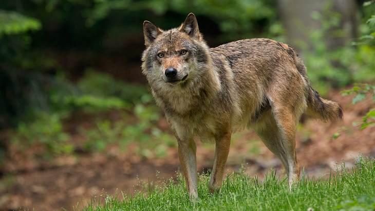 Erster Wolf abgeschossen