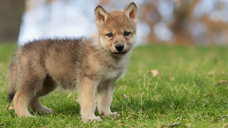Symbolbild für Wolfsmischling