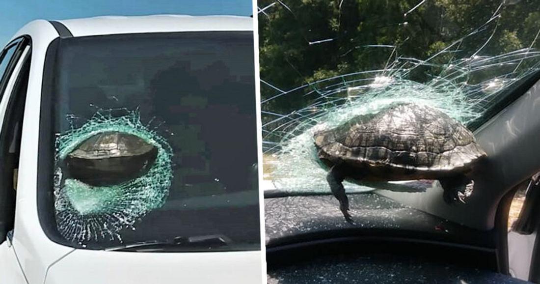Schildkröte in Windschutzscheibe