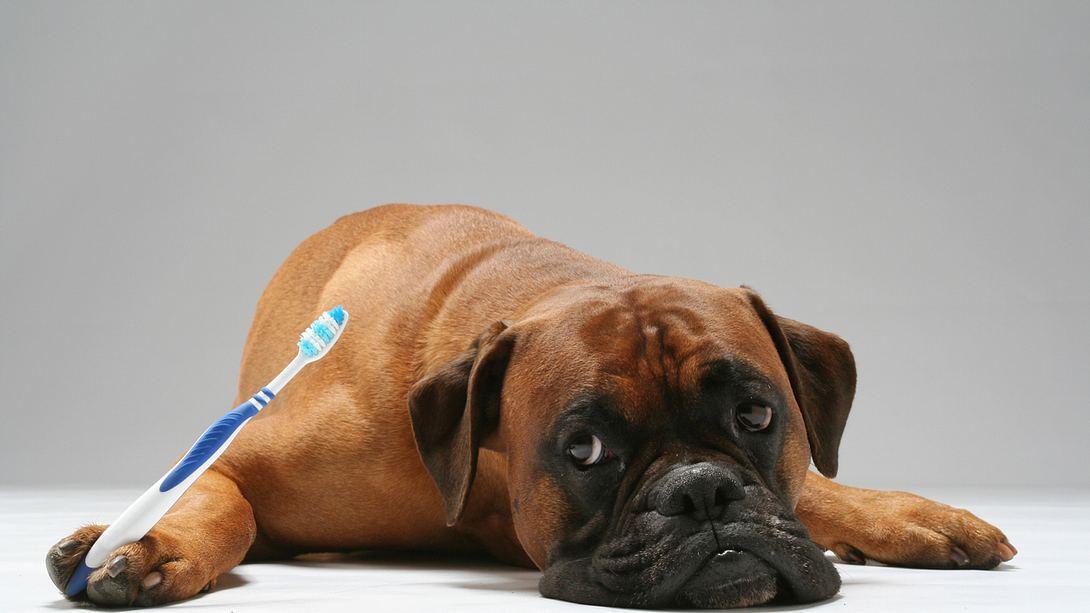 Zahnpflege beim Hund  - Foto: iStock / walik