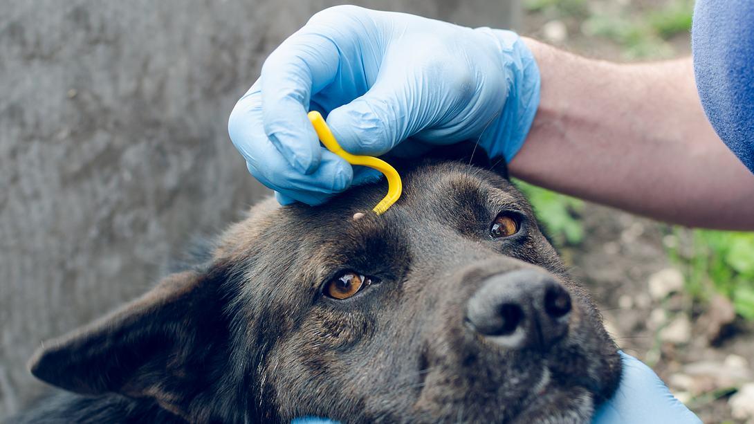 Hund wird gegen Zecken behandelt - Foto: iStock/Andrei310