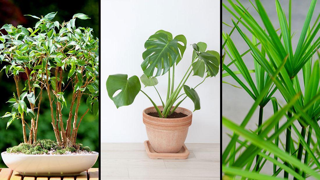 Gut fürs Raumklima - Zimmerpflanzen