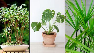 Gut fürs Raumklima - Zimmerpflanzen - Foto: iStock / mykeyruna / Supersmario  / mtreasure (Collage Männersache)
