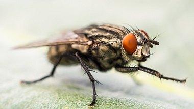 Fliege - Foto: iStock/Luis Costa