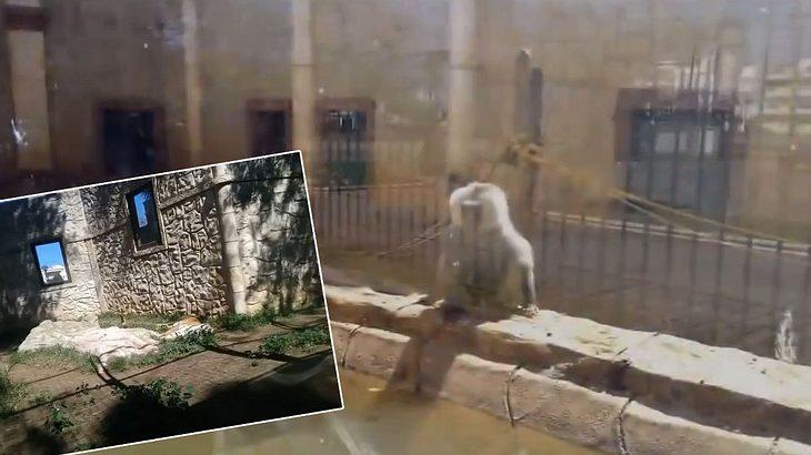10 Monate nach Schließung: Tiger und Affen in verlassenem Zoo entdeckt