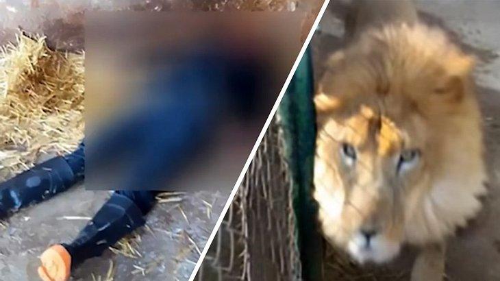 Ein Löwe tötet einen Zoowärter