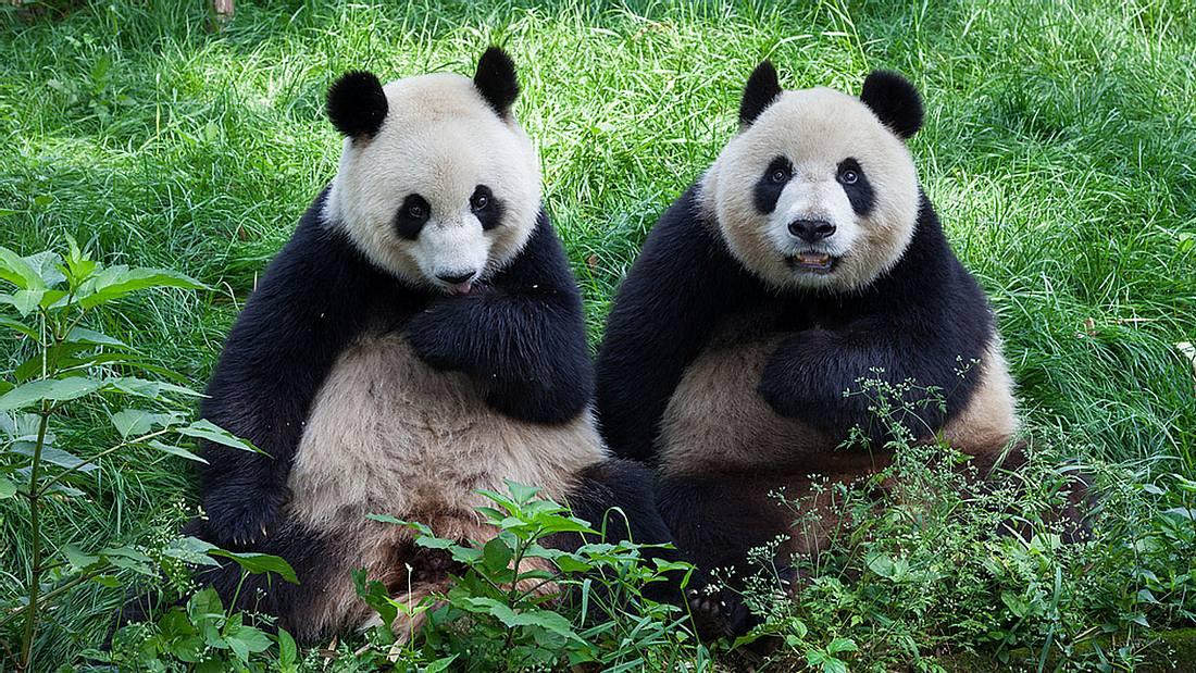 Zwei Pandabären